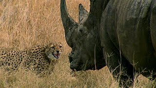 Download Curious Cheetah Cubs Take On A Rhino   BBC Earth Video