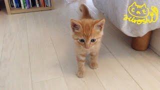 Download 茶トラ子猫拾った翌朝 ベッドの下から恐る恐る可愛い↑↑ / Sleepy cat Hiroshi: Grumpy morning Video
