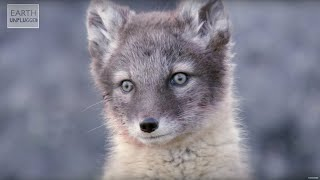 Download Adorable Baby Foxes! | Amazing Animal Babies | Earth Unplugged Video