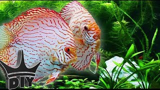 Download HOW TO: Keep Discus Video