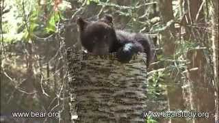 Download May 12, 2012 - Jewel the Black Bear - Jewel and Cubs 03 Video