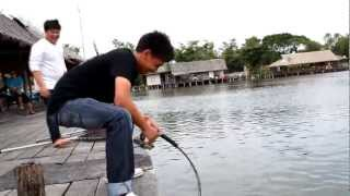 Download Giant Mekhong catfish at Bungsamran Fishingpark Thailand Bangkok Video