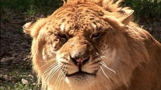 Download How to clean 100+ BIG CATS!! Video