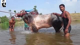 Download Racing bull- लक्ष्या बैल part -2 व्यायाम,चालक, आणि बरच काही with English subtitles Video