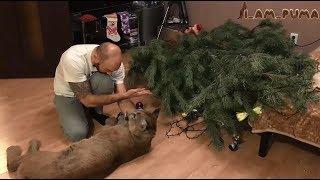 Download Пума уронила ёлку! Cougar Messi Christmas Tree 2 Video