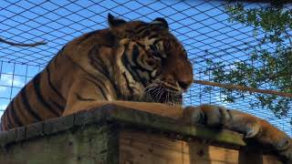Download Texas Tigers Make It Tough on Keeper Video