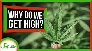 Download Why Do Humans Like to Get High? Video