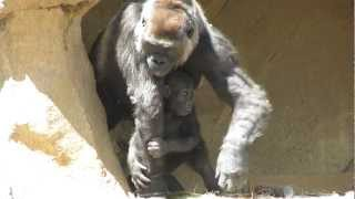 Download Cutest Baby Gorilla Ever with Mom and Dad Video