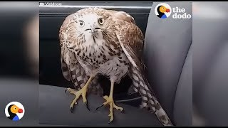 Download Harvey the Hurricane Hawk: Scared Hawk in Taxi Finds Man Who Will Help | The Dodo Video