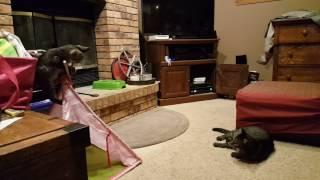 Download Kitten Meets Cat   Help Interpret The Behavior   Is the Cat Too Mean to the Kitten? Video