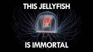 Download Jellyfish are the key to Immortality Video