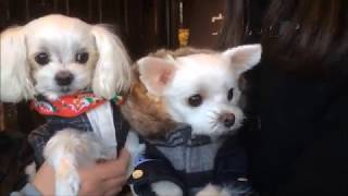 Download マルチーズわたまる ワンコお宿探訪 ウブドの森①【Maltese Dog】 Video