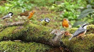 Download Woodland Birds - Vögel - Oiseaux - Vogels - Fåglar - Aves Video