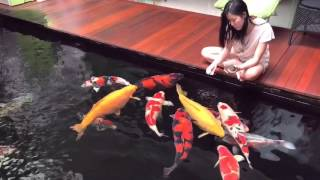 Download Love Koi with hand feeding Video