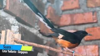 Download DUNIA HOBI : Fenomena Murai Batu Ekor Panjang Masuk Indonesia Semakin Meningkat Video