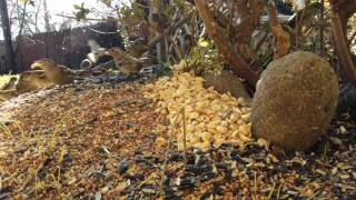 Download Sunday January 15th, 2017 Squirrel Cam and Bird Feeder Cam Video