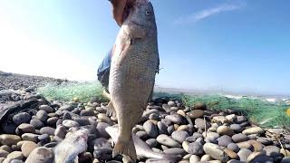 Download ¡ASOMBROSO! Un solo Pescador Atrapa Grandes Peces con Red en mar abierto【TRASMALLO】 Video
