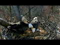 Download AEF-DC Eagle Cam ~ Nestorations & Mating ~ 02·09·17 Video