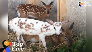 Download Special Baby Deer Loves To Play Mom To Her Friends & Other Deer Stories | The Dodo Top 5 Video
