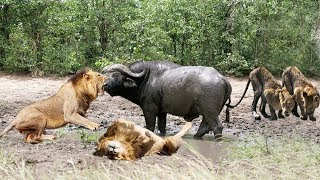 Download OPPORTUNITY OF LIONS WHEN A BUFFALO GETS STUCK IN MUD Video