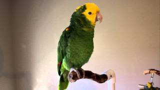Download Chloe' ~Talking & Singing Double Yellow-head Amazon Parrot Video