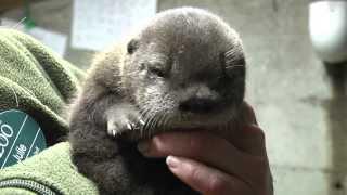 Download Ziggy the otter pup squeaks Video