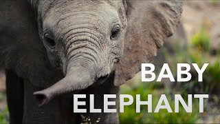 Download Baby Elephant Discovers His Trunk Video