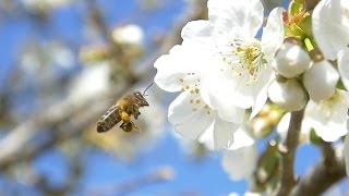 Download Bees - Slow Motion Panasonic GH4 Video