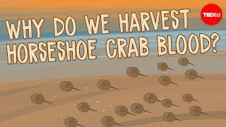 Download Why do we harvest horseshoe crab blood? - Elizabeth Cox Video