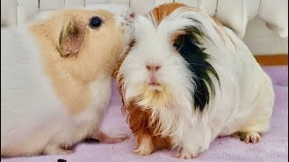 Download New Guinea Pig Introduction & Bonding Video