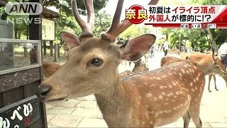 Download 凶暴でも「シカ」らないで・・・正しい鹿との付き合い方(16/06/06) Video