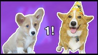 Download Corgi Puppy's 1st Birthday! Video