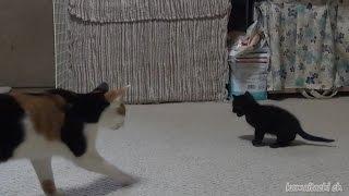Download Tiny Kitten BIG Meow! 大きな声でなくかわいい赤ちゃん黒猫【瀬戸の黒猫日記】 Video