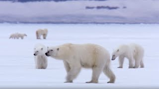 Download Film Crew Surrounded by 13 Wild Polar Bears | BBC Earth Video