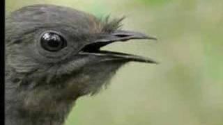 Download Amazing! Bird Sounds From The Lyre Bird - David Attenborough - BBC Wildlife Video