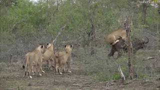 Download Elephants rescue buffalo mid lion hunt -#safariLIVE Video