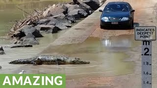 Download Huge crocodile holds up traffic to cross road in Australia Video