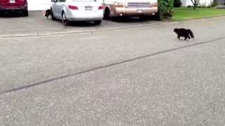 Download Epic Cat chases Dog!! Warning!! Lots of hysterical laughter! Video