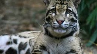 Download National Geographic Wild Clouded Leopard Rescue Video