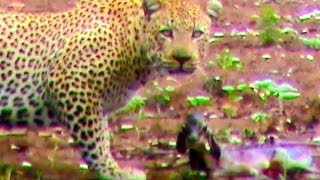 Download Unbelievable: Leopard Hesitates Before Taking Out An Impala Lamb At Birth Video
