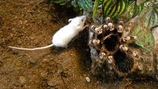 Download Large brutal tarantula kills mouse (Acanthoscurria geniculata) Video