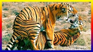 Download Siberian Tiger Mating Many Times On Day Then Female Giving Birth Video