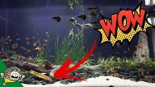 Download Dojo Loach Full Grown in the 800 Gallon Aquarium Video