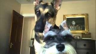 Download Asking my german shepherd and mini schnauzer a question Video