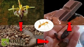 Download Ants That Make Coffee, Chocolate, & Pineapples Video