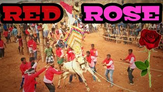 Download RED ROSE BULL PERFORMANCE IN 2019 || IN ALL PLACES || HORI HABBA JALLIKATTU Video