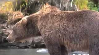 Download Bear gets heart attack!! Caught on camera Video
