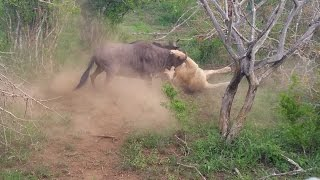 Download Wildebeest Vs Lion In Fight For Life Video