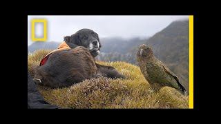Download This Amazing Dog Helps to Save Endangered Parrots | Short Film Showcase Video
