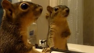 Download Animals react to their reflections - Funny animals vs mirrors compilation Video